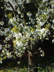 Le cerisier